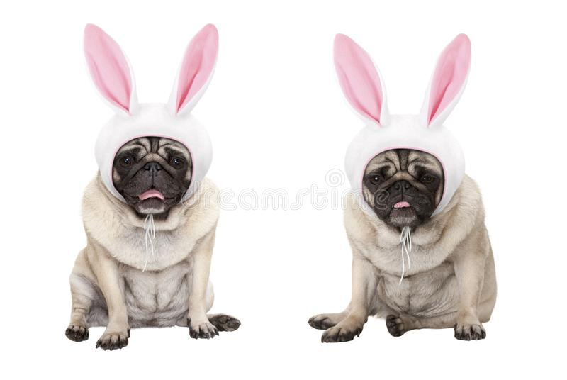 Funny little easter pug puppy dogs, sitting down, wearing easter bunny cap with ears royalty free stock images