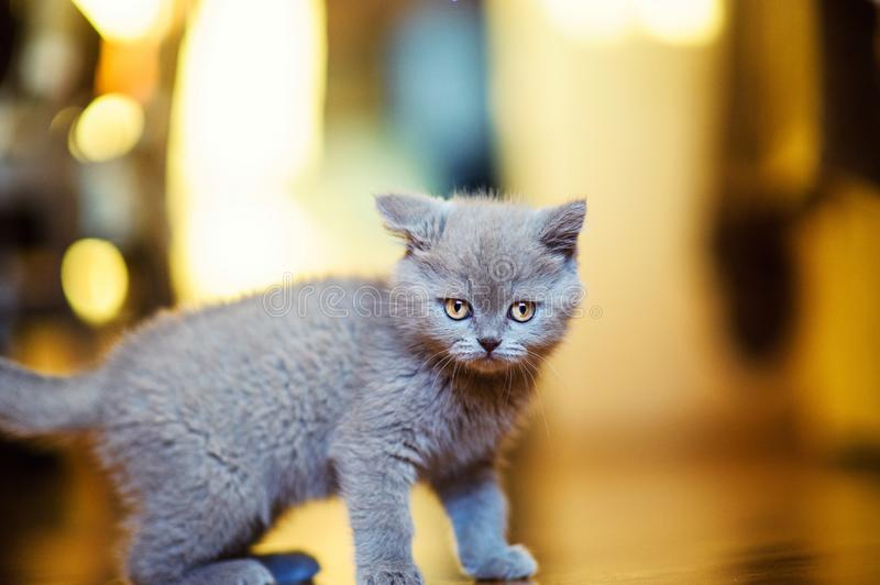 Funny little kitten royalty free stock images