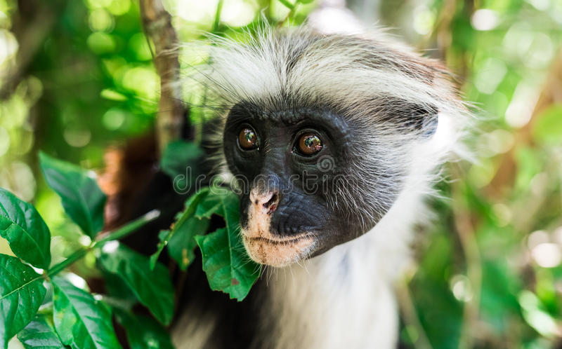 Funny little monkey on a tree. Funny little african monkey on green tree royalty free stock photography