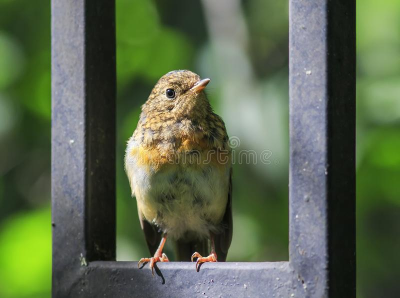 Funny little orange bird Robin chick sits on the blue wooden fe royalty free stock photography