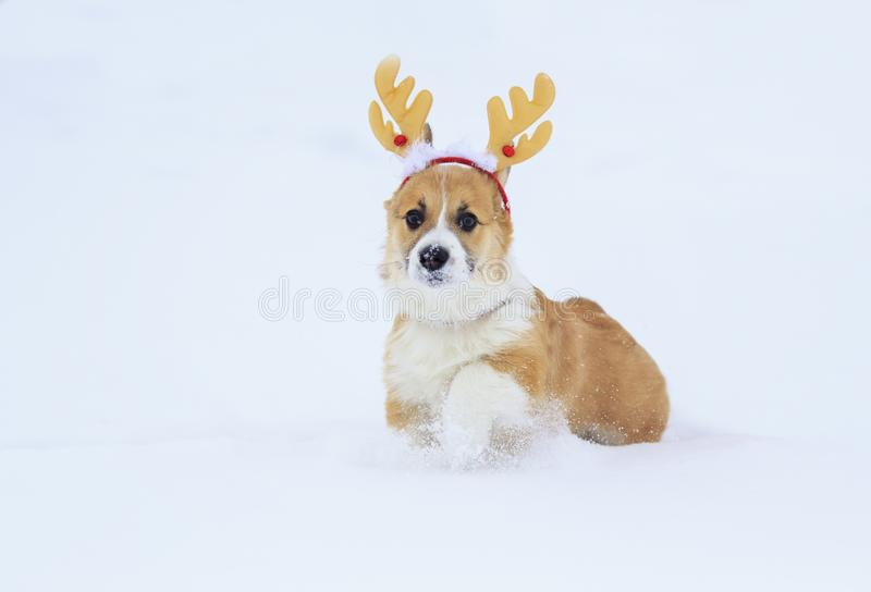 Funny little red puppy of a corgi dog walks in white snow in a winter park dressed in festive soft Christmas antlers. Red puppy of a corgi dog walks in white royalty free stock image