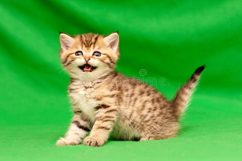Funny little spotted Golden British kitten looks at the camera and says meow royalty free stock photo