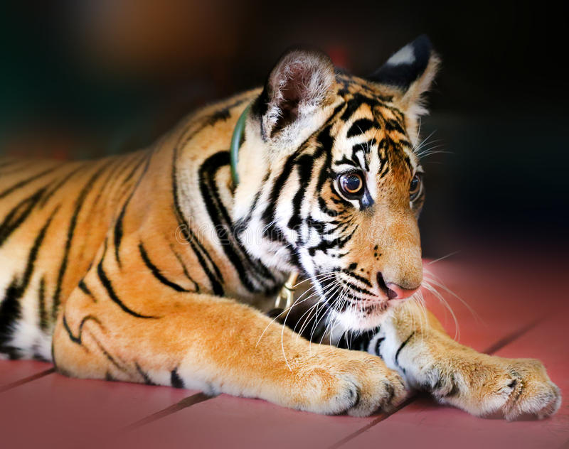 Funny little tiger stock images