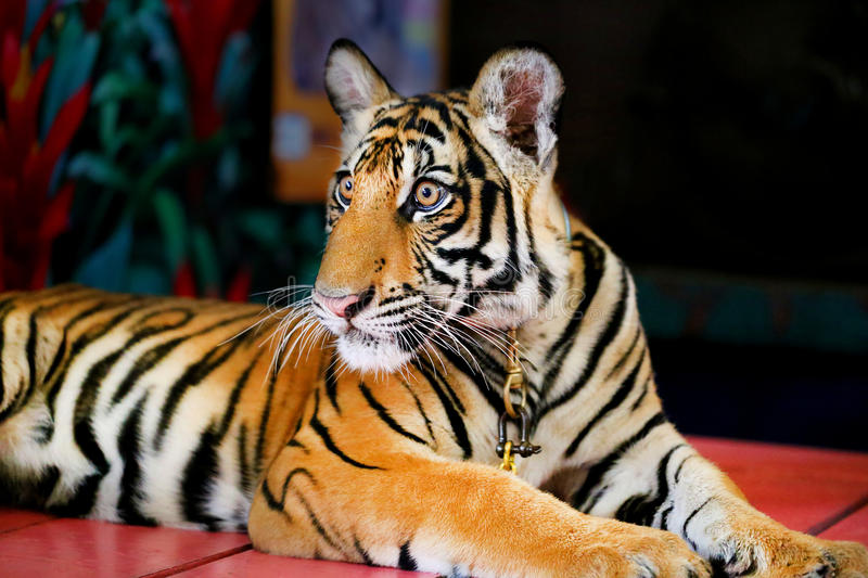 Funny little tiger stock photo