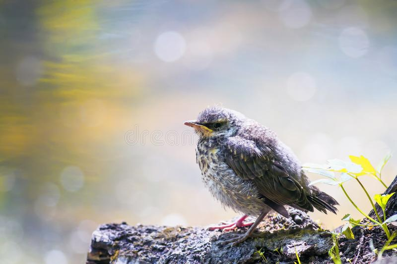 Funny little yellow baby bird a Blackbird is sitting in a Sunny. Bright spring the Park by the pond and waits for parents royalty free stock photography