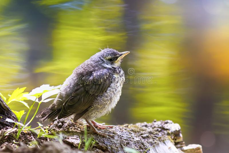Funny little yellow baby bird a Blackbird is sitting in a Sunny. Bright spring the Park by the pond and waits for parents stock photo