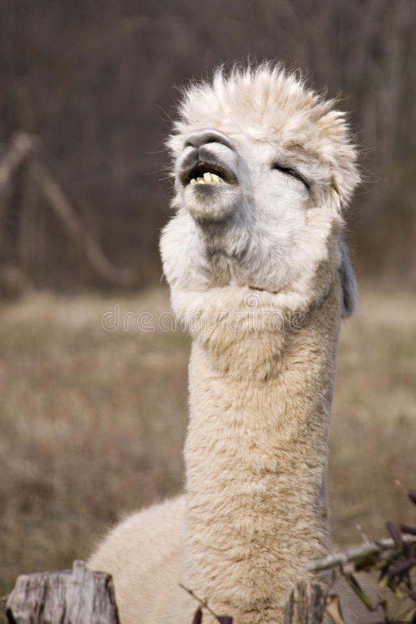 Funny Llama royalty free stock photo