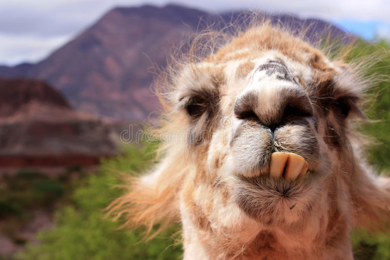 Funny llama. A funny looking llama with prominent teeth in Cafayate royalty free stock image