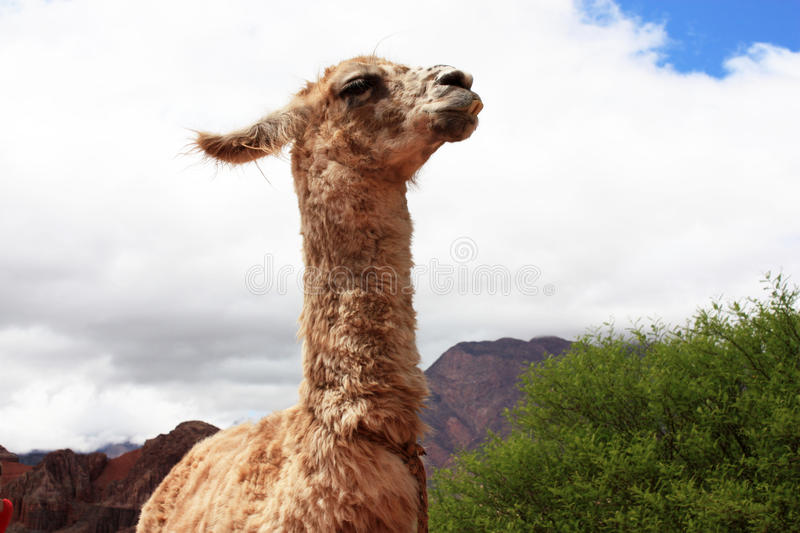 Download Funny llama stock image. Image of muzzle, argentina, teeth - 12434429