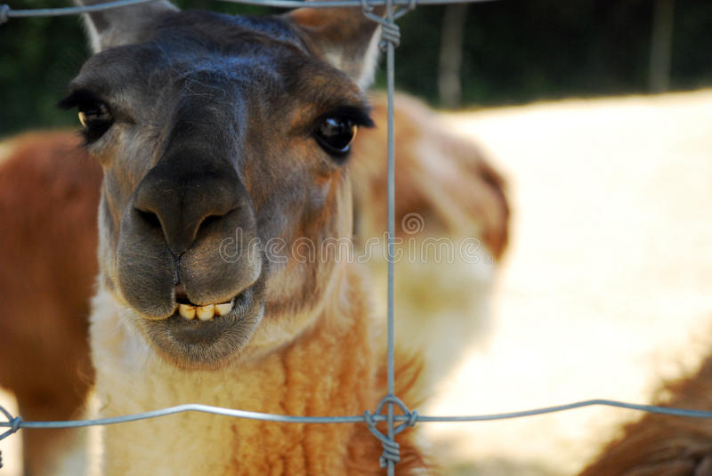 Funny llama face. We can see a funny face of a llama in an animal park in France royalty free stock image