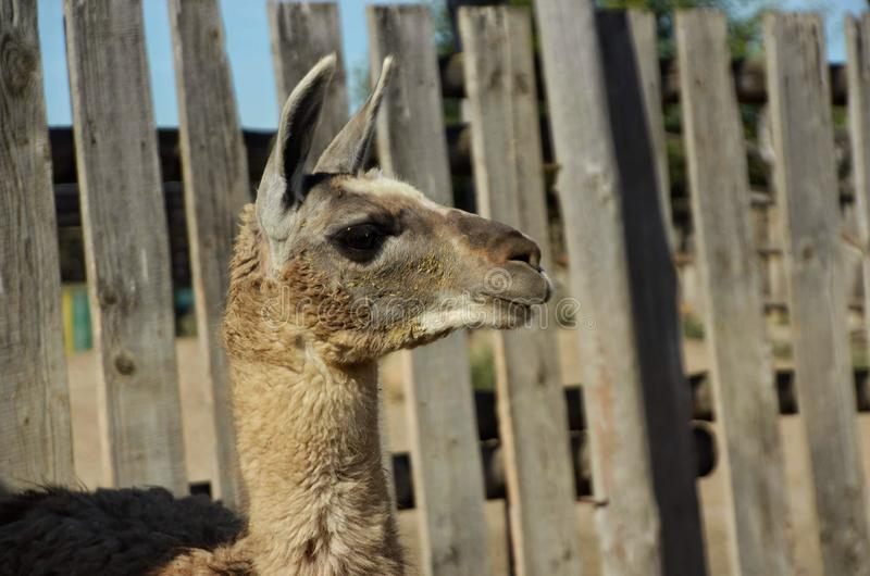 Funny llama waiting for food. High, graceful llama living in a contact zoo, looks out food n royalty free stock photos