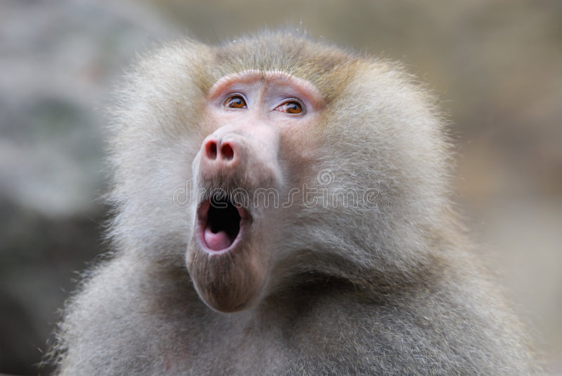Download Funny looking baboon stock photo. Image of looking, wild - 4710216