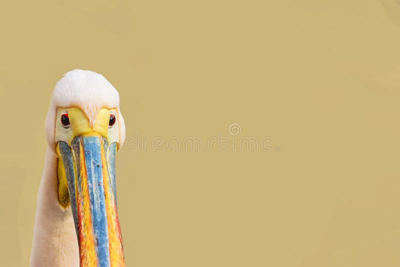 Funny looking bird - pelican head isolated with copy space.  royalty free stock photos