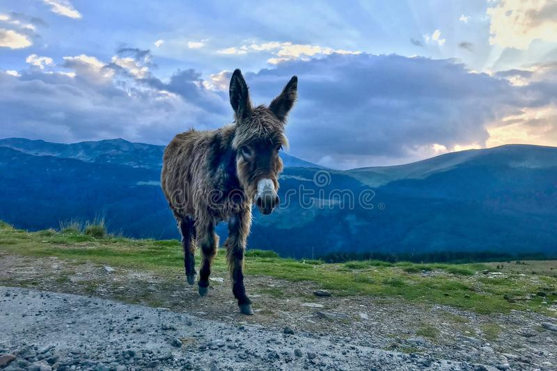 Cute donkey on the mountain at sunset royalty free stock photos