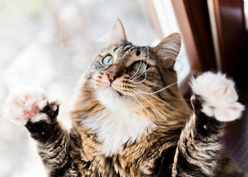 Funny cat raises paws up stock images