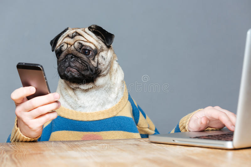 Funny man with pug dog head using laptop and smartphone stock photos