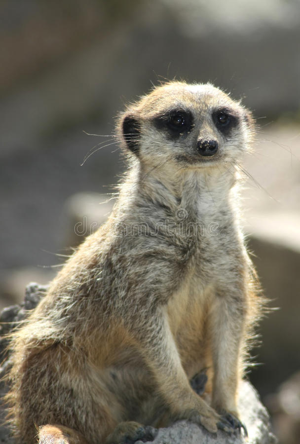 Download Funny Meerkat stock photo. Image of staring, furry, ground - 11325944