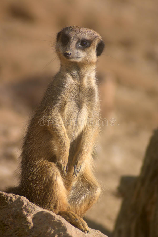 Funny meerkat royalty free stock photo
