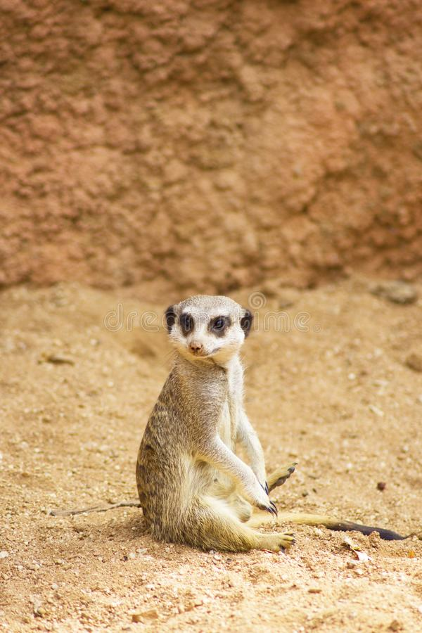 Funny Meerkat Manor sits in a clearing at the zoo. Curious Meerkat at Attention royalty free stock photos