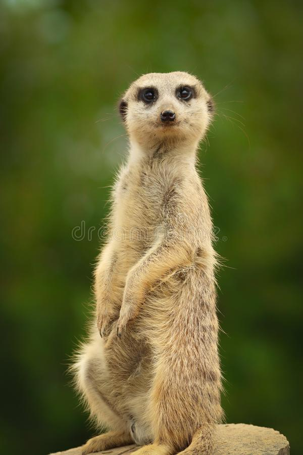 Funny meerkat is standing royalty free stock images