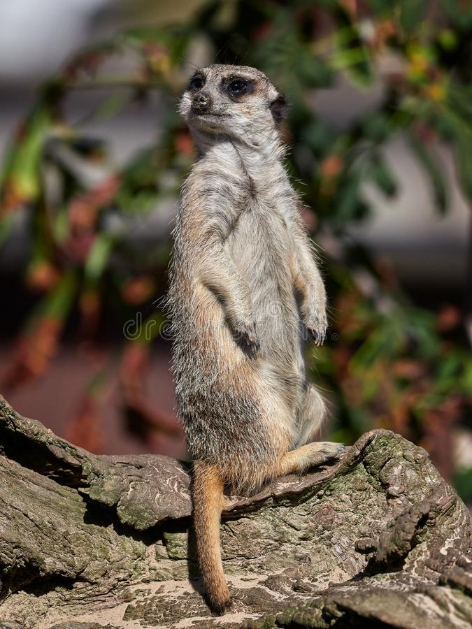 Free Funny Meerkat Watching Royalty Free Stock Images - 108140019