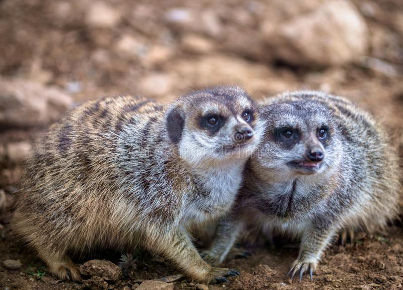 Funny meerkats playing in the desert royalty free stock photography