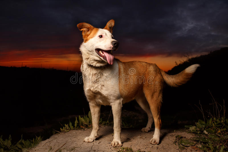 Funny Mixed Breed Ginger Dog. At Sunset stock photo