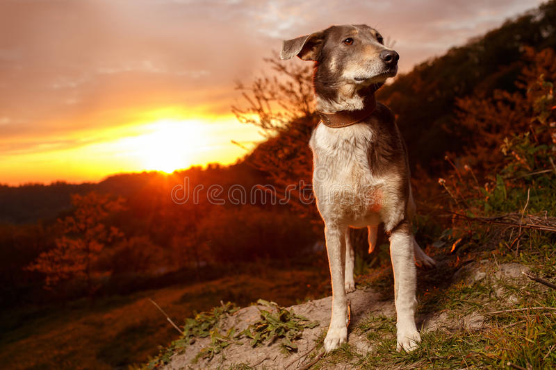 Funny Mixed Breed Gray Dog. At Sunset stock images