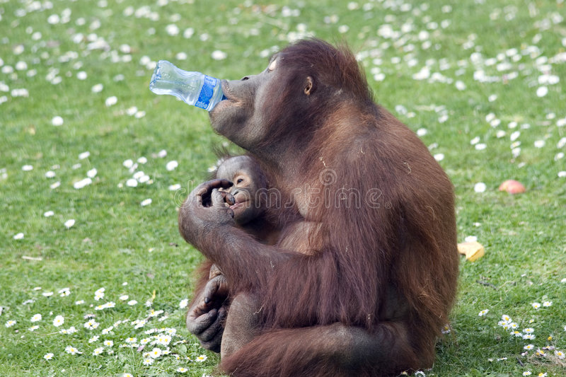 Funny Monkey. Drinking water from a bottle stock image
