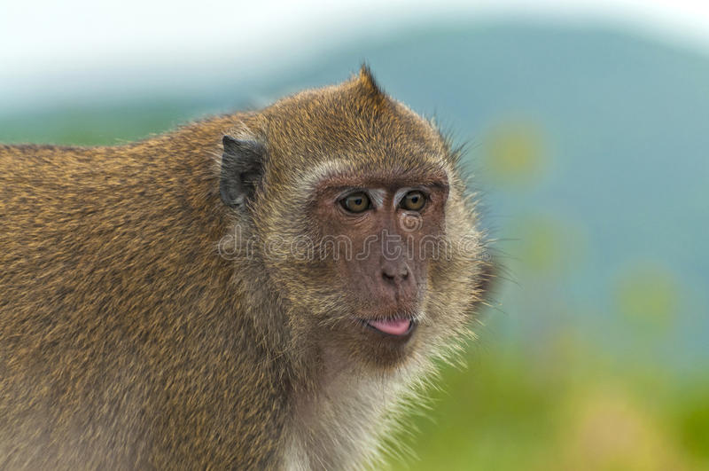 Download Funny monkey stock image. Image of look, glance, huahin - 26188665