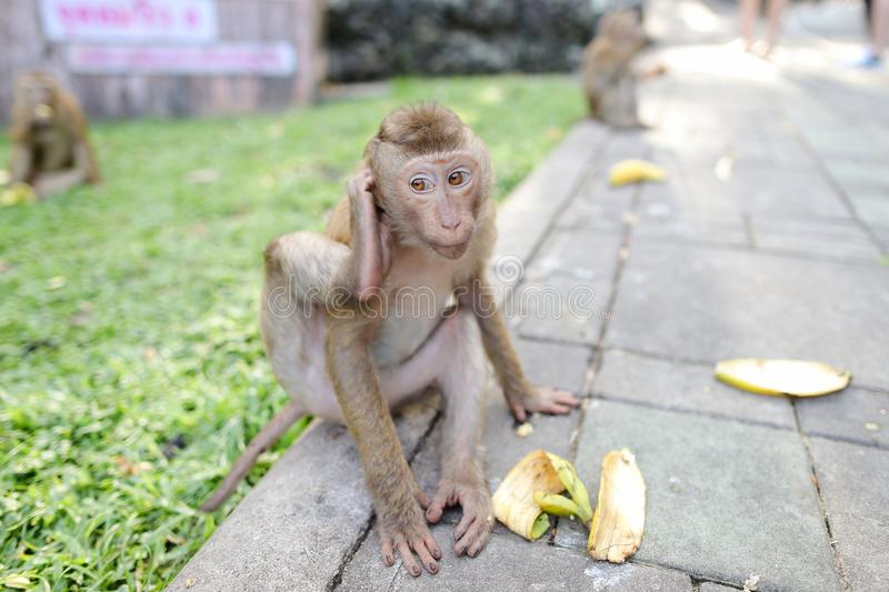 Funny monkey eating banana on grass background in park. royalty free stock photography