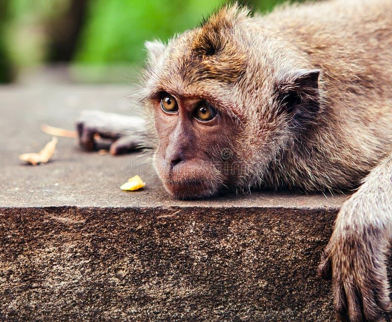 Funny monkey eating a banana stock photos