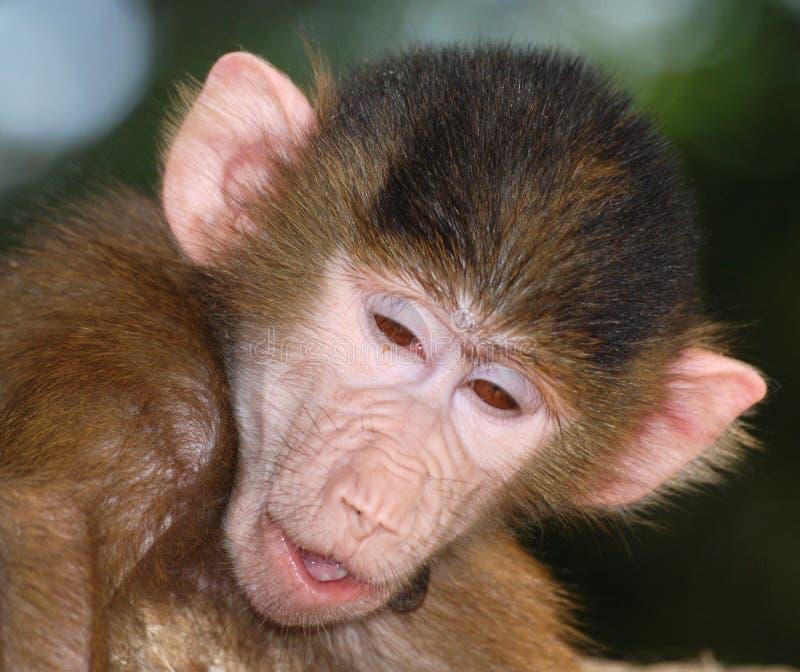 Funny monkey portrait. Close up of a monkey head stock image