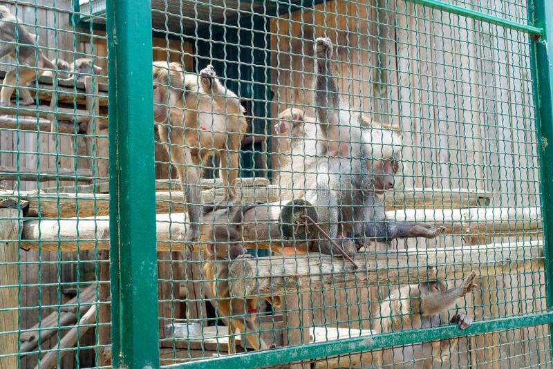 Funny monkeys ask food from visitors to the zoo through an iron cage. stock photography