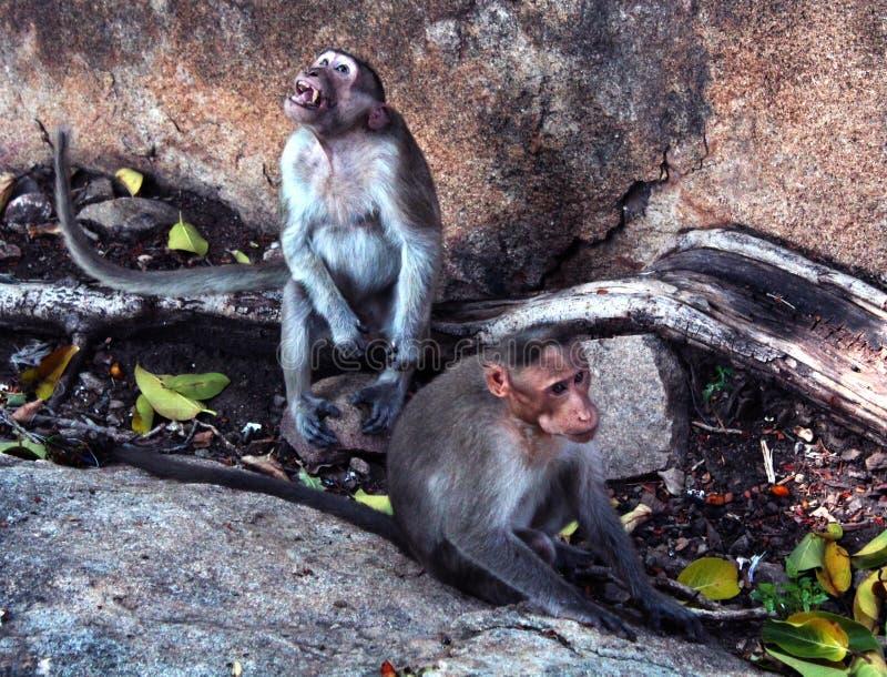 Funny monkeys in the fort of tirumayam stock image
