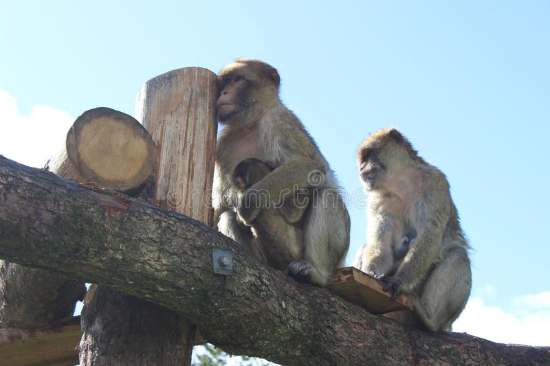 Funny monkeys royalty free stock photo