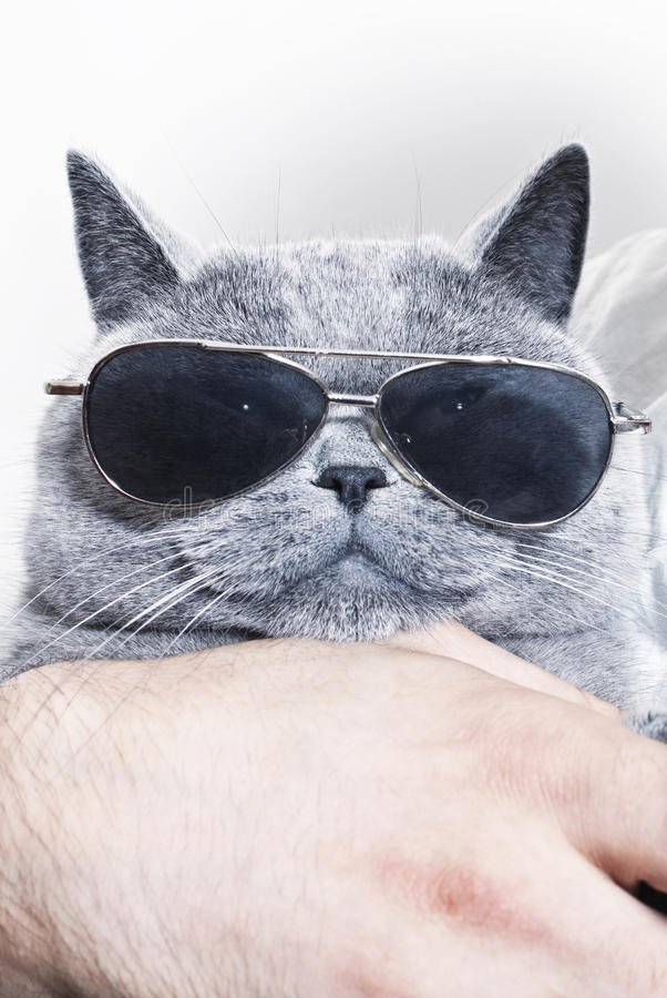 Download Funny Muzzle Of Gray British Cat In Sunglasses Stock Image - Image: 25978945