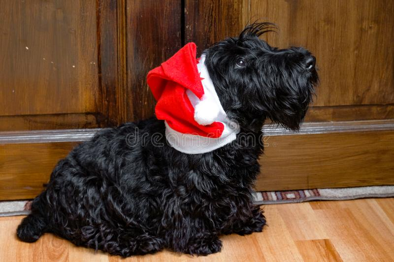 Funny naughty dog in Santa hat royalty free stock images