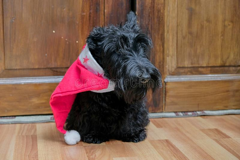 Funny naughty dog in Santa hat stock images