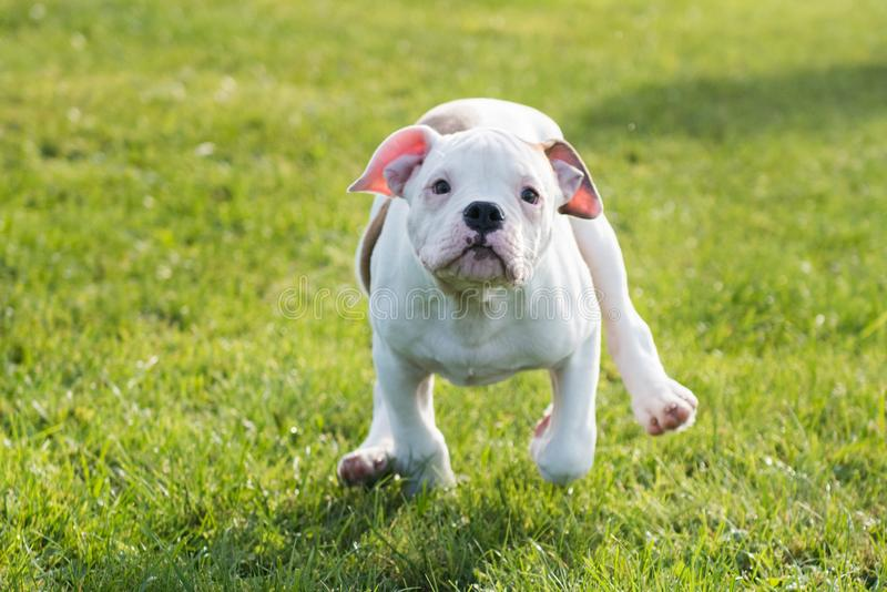 American Bulldog puppy on nature royalty free stock images