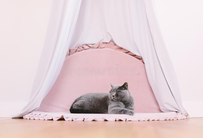 Funny noble British cat lying under baldachin and looking up proudly stock photos