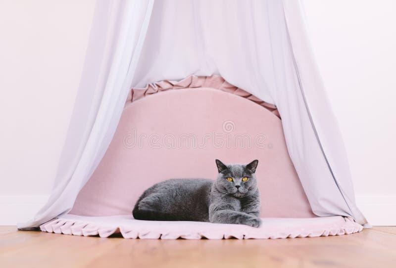 Funny noble British cat lying under baldachin, portrait stock photo