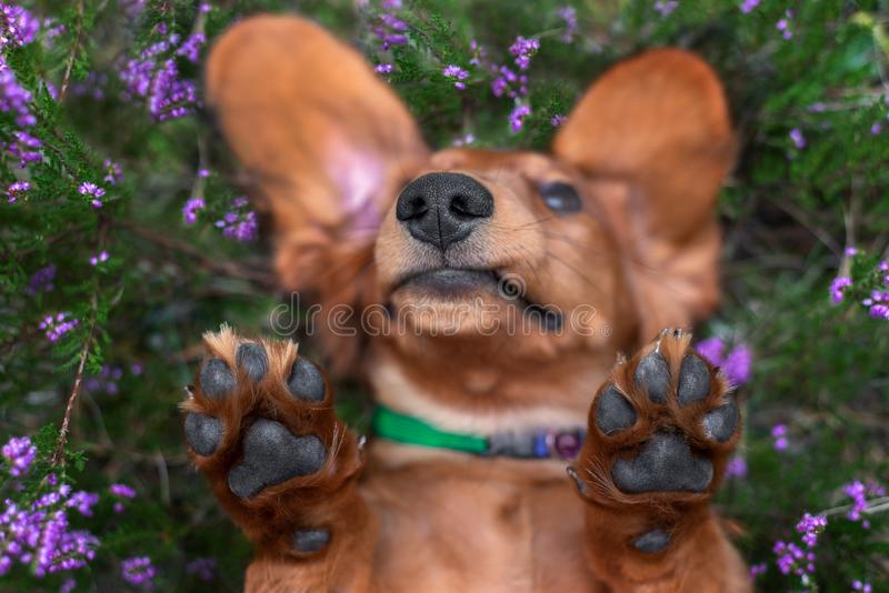 Funny nose and paws portrait of a dog lying upside down in heather flowers stock image