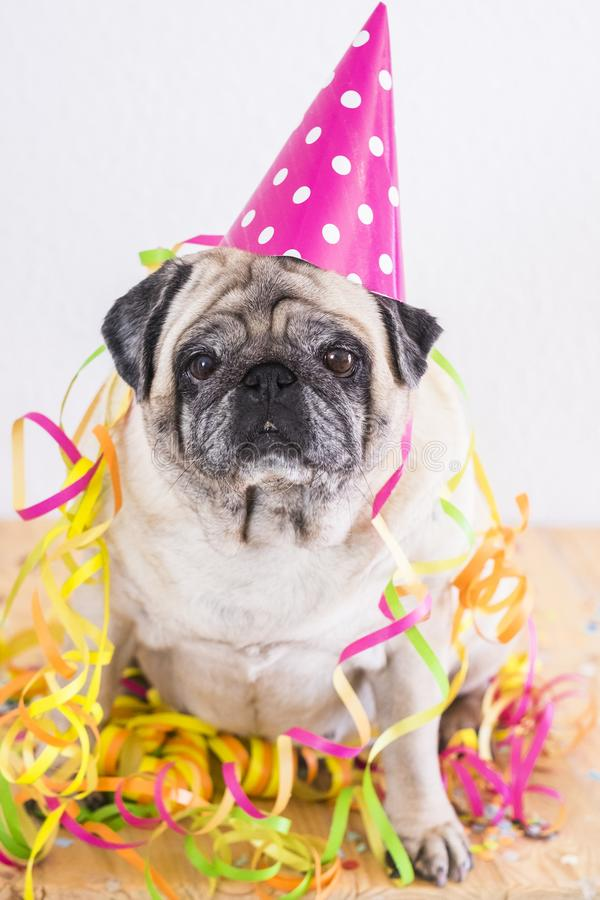 Funny old pug dog with carnival or generic celebration royalty free stock images