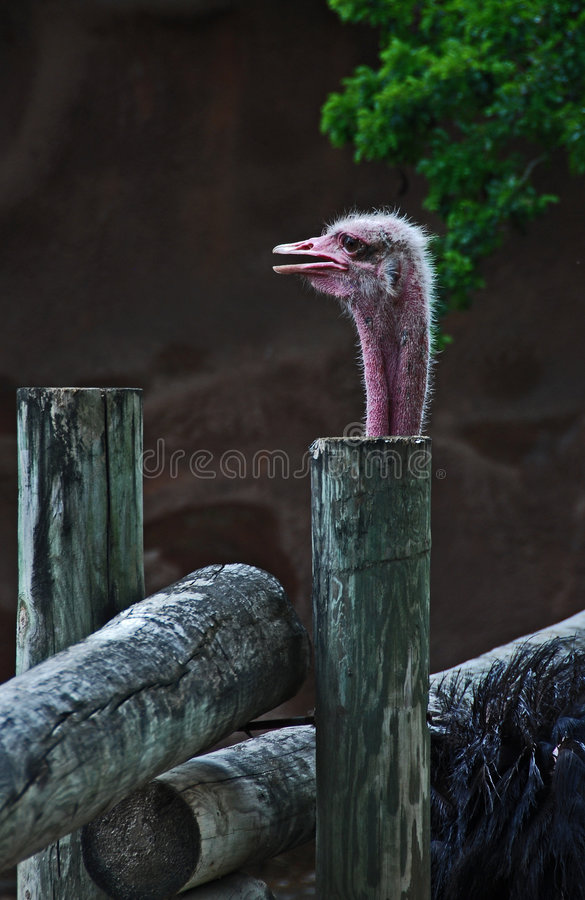 Funny ostrich looks over a fence royalty free stock image