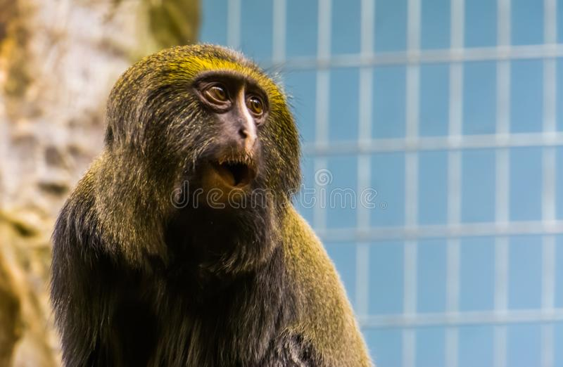 Funny owl faced monkey making an amazed face, the head of a hamlyns monkey in closeup, vulnerable animal specie stock photography