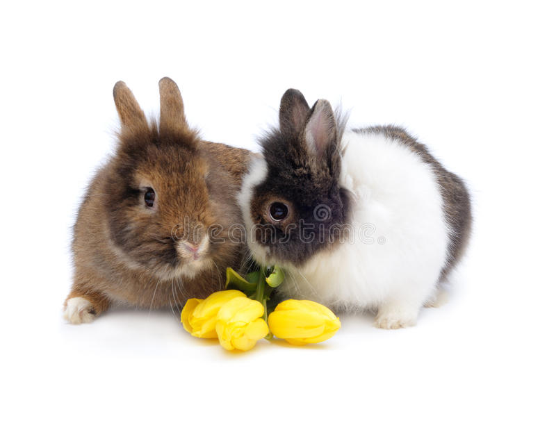 Funny pair of rabbits with tulips stock photography