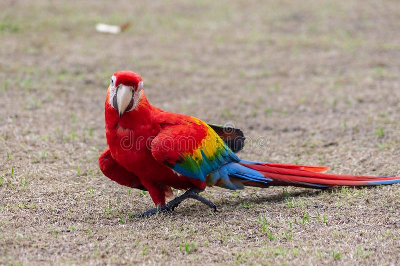 A funny parrot from the Amazon jungle. Amazonian jungle in Peru. Frendly colorful parrots. Camera Sony royalty free stock photos