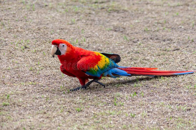 A funny parrot from the Amazon jungle. Amazonian jungle in Peru. Frendly colorful parrots. Camera Sony stock photo