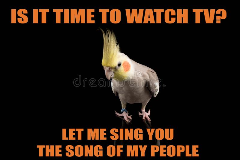 Funny Parrot meme, you want to watch TV?, Let me sing you the song of my people. cool memes and quotes. Very cute royalty free stock photo